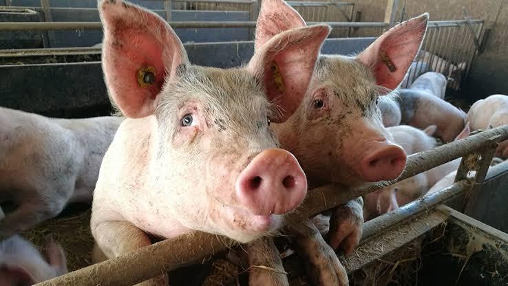 พิษน้ำท่วม กระทบผลผลิตหมู ซ้ำวัตถุดิบอาหารสัตว์พุ่ง เกษตรกรแบกต้นทุนสูง